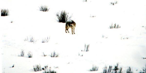 lifestyle-coyotes