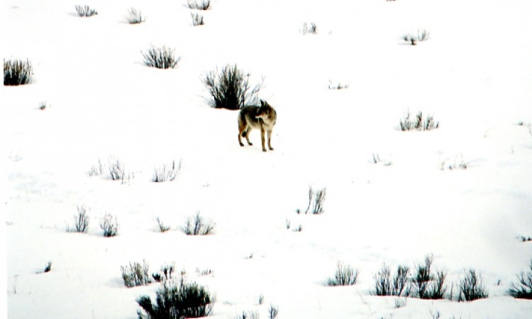 coyote on snowy mountain