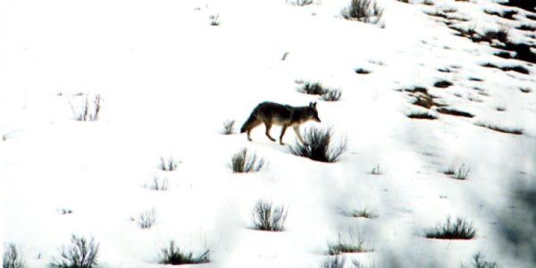 lifestyle-coyotes02