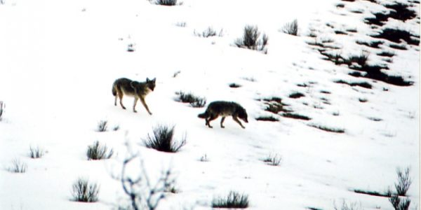 lifestyle-coyotes03
