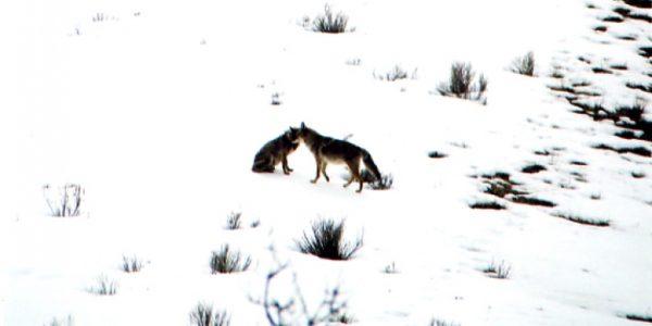 lifestyle-coyotes04