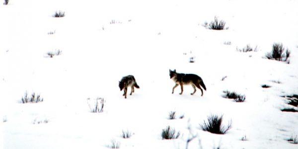 lifestyle-coyotes05