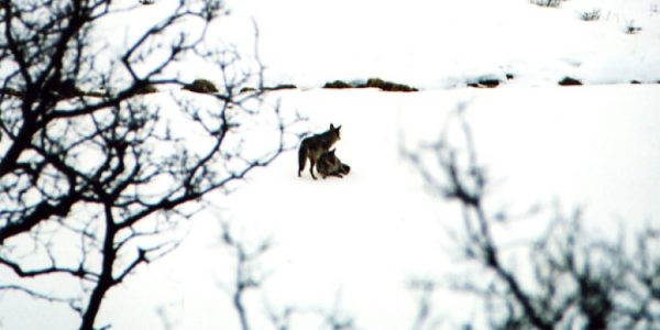 lifestyle-coyotes06