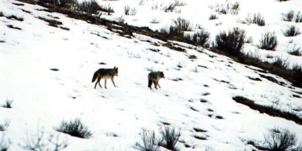 lifestyle-coyotes07