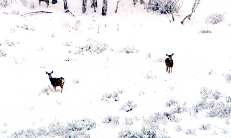 Deer on snowy mountain