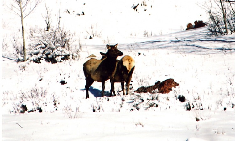 Elk on snowy mountain