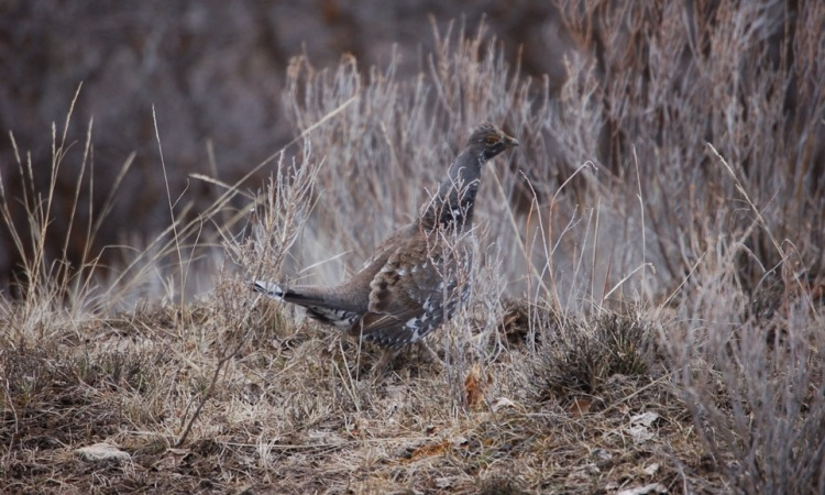 Grouse in bushes